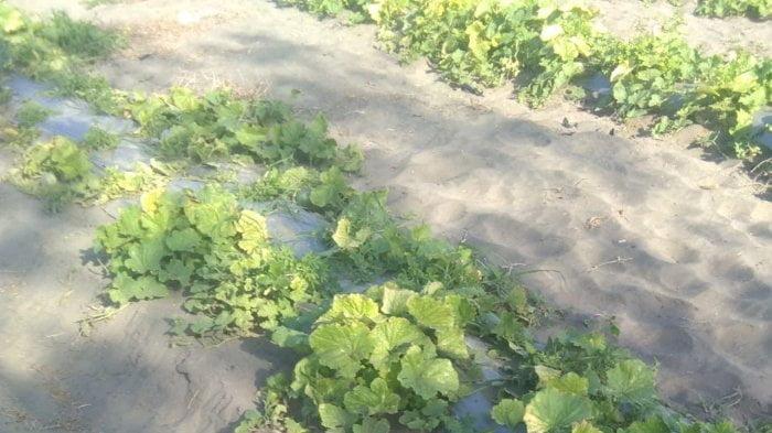 Foto Jejak Kendaraan TNI Rusak Tanaman Melon di Buluspesantren Kebumen