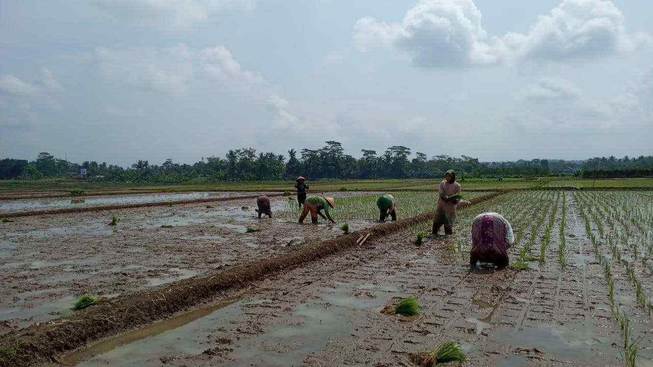 buruh tani di purbalingga sedang menanam padi