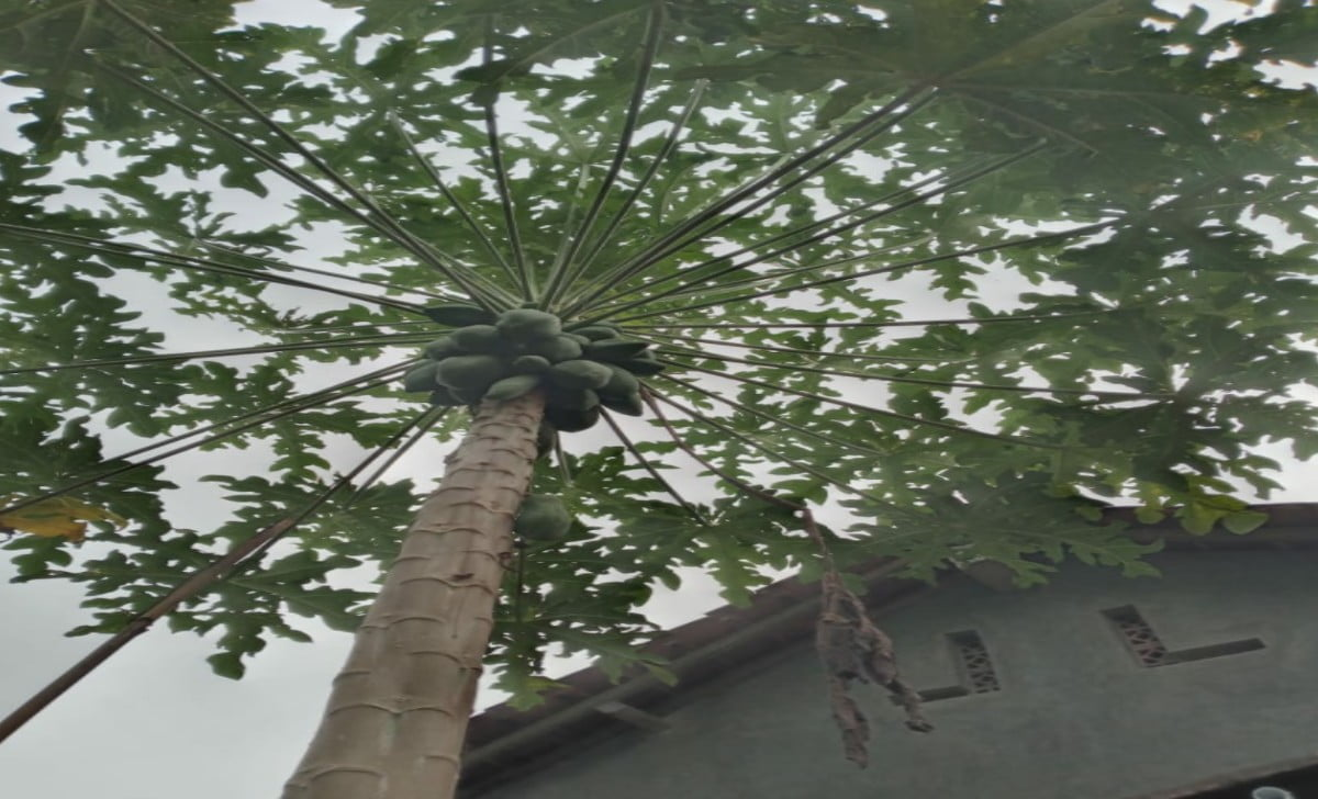 ilustrasi pohon Pepaya