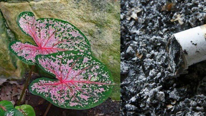 ilustrasi tanaman keladi dan abu rokok